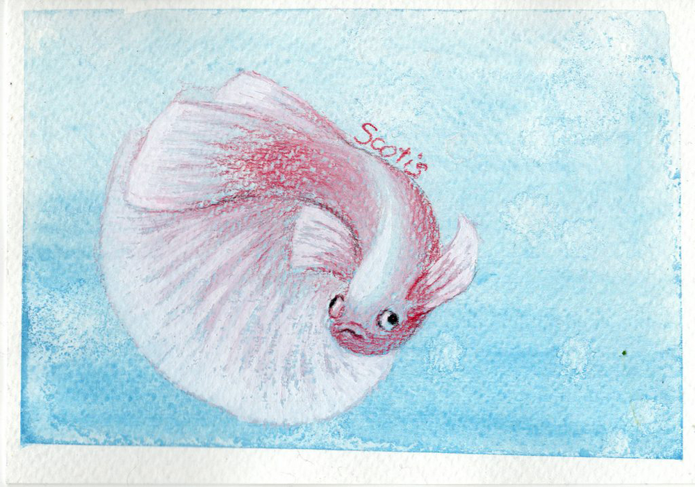 Aquarelle d'un betta splendens (poisson combattant) rouge et blanc