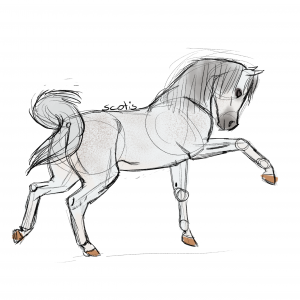 Cheval arabe gris faisant le kéké, croquis par Scotis